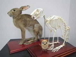ノウサギの剥製と骨格標本.JPG